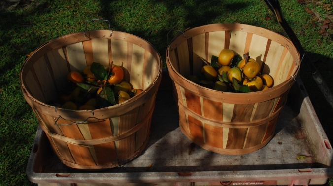 persimmons are to north florida as orange pumpkins are to most of the rest of the county