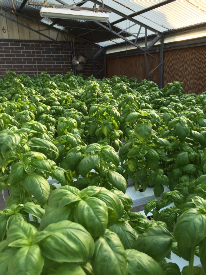 Basil takes over from lettuce in the NFT table.