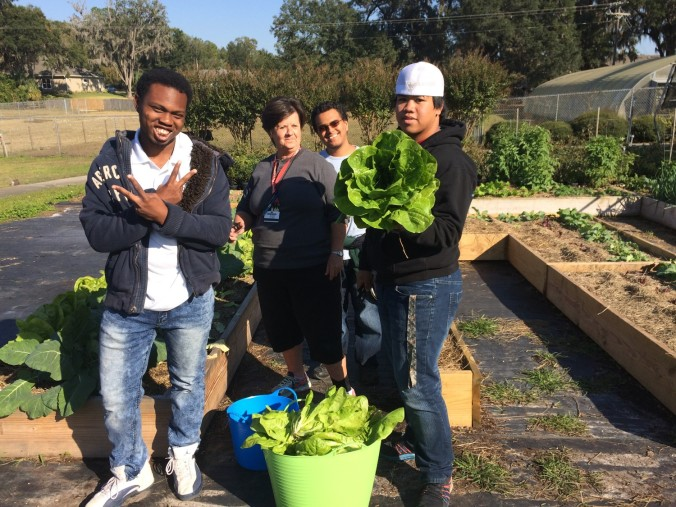 harvesting lettuce for lunches 2